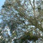 eucalyptus quinqua